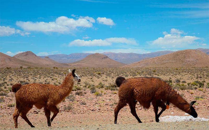 """Lhamas no caminho do """"Paso de Jama"""", ainda no lado argentino."""