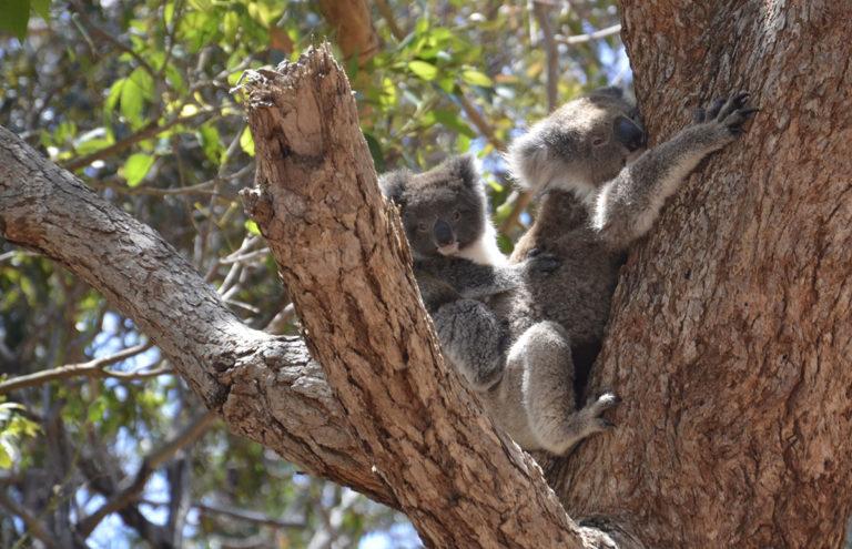 Coala mãe e coala filho