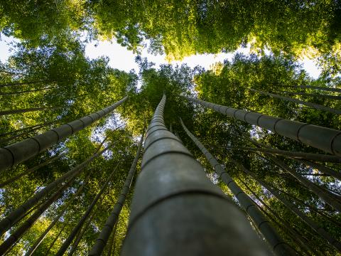 Floresta de bambus em Arashiyama, Quioto, Japão