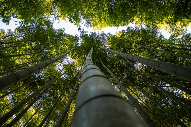 Floresta japonesa de bambus